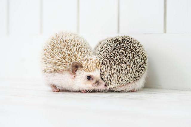 壁際で求愛しあう二匹のハリネズミの写真