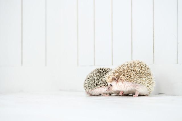 寄り添いベタベタする二匹のハリネズミの写真