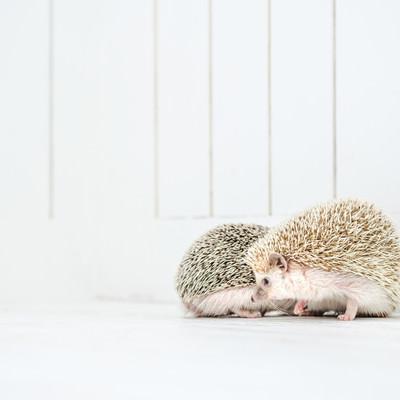 「寄り添いベタベタする二匹のハリネズミ」の写真素材