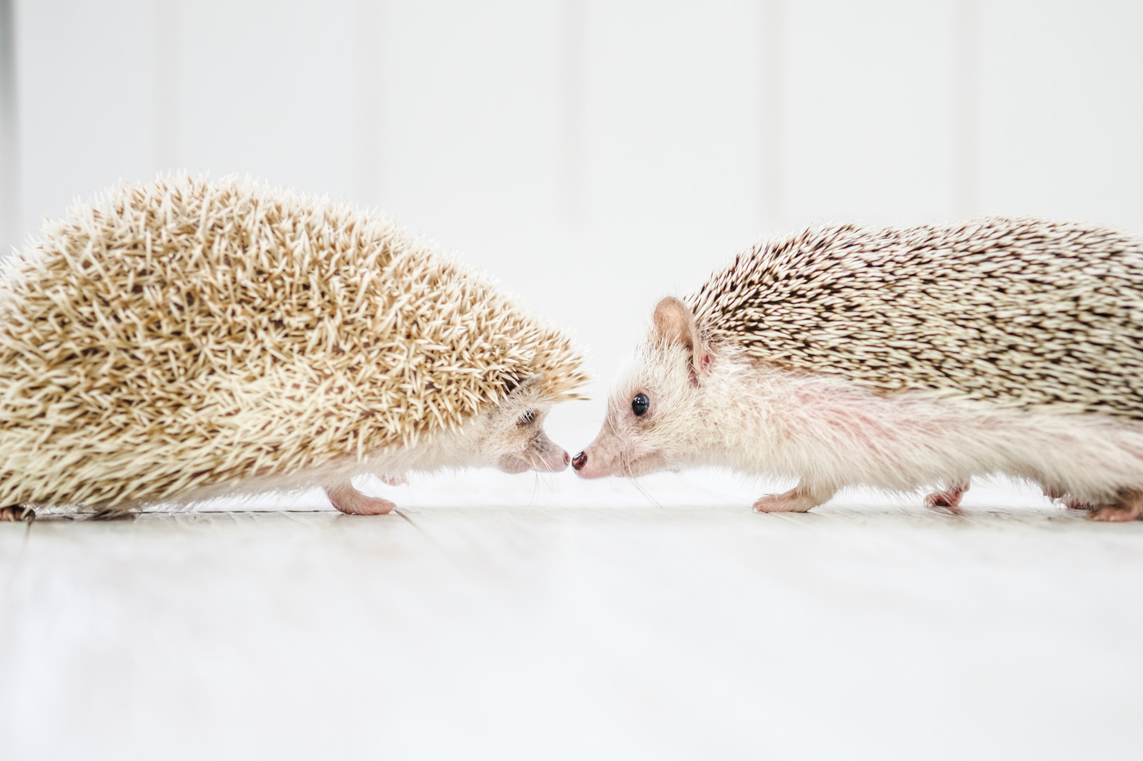 「キスするハリネズミのカップル」の写真