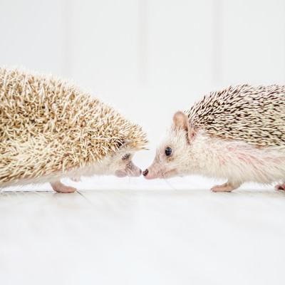 キスするハリネズミのカップルの写真