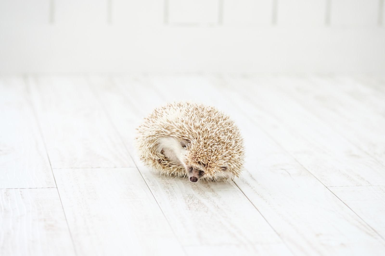 「丸くなる様子のハリネズミ」の写真[モデル:ハリネズミ]