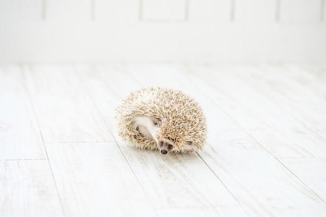 丸くなる様子のハリネズミの写真
