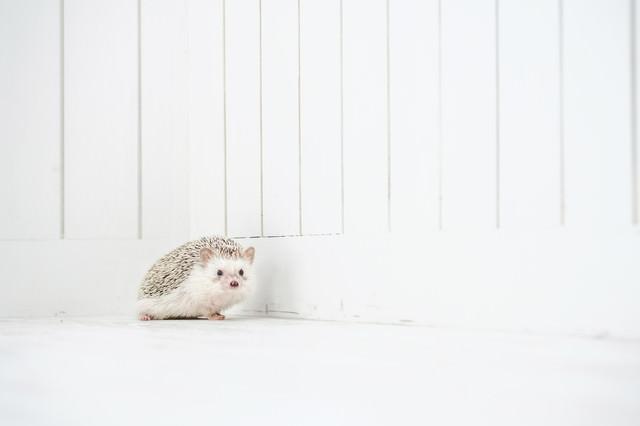 小さくて愛くるしいハリネズミの写真