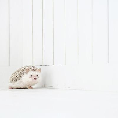 「小さくて愛くるしいハリネズミ」の写真素材