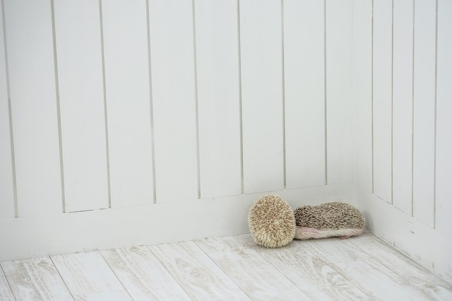 部屋の隅っこで身を丸めるハリネズミペアの写真