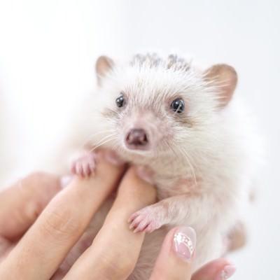 「ハリネズミのお腹をさする手」の写真素材