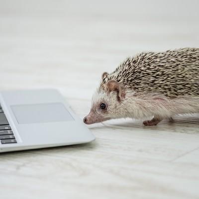 「PCで進捗を確認するハリネズミ」の写真素材