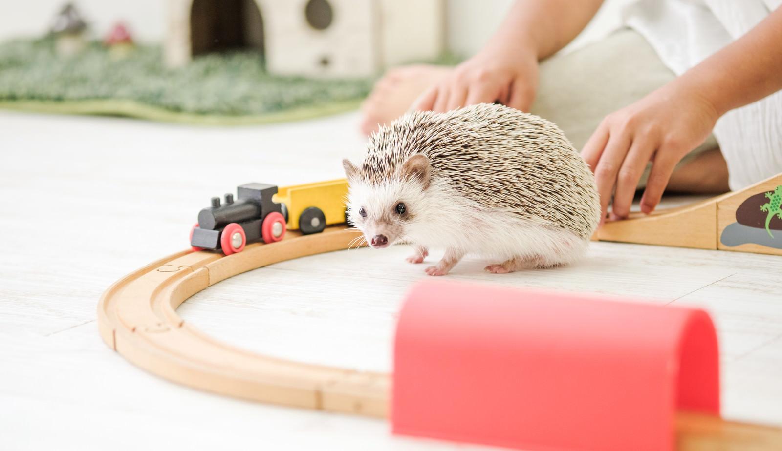 「木のレールのおもちゃで飼い主と一緒に遊ぶハリネズミ」