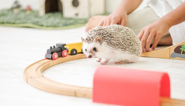 木のレールのおもちゃで飼い主と一緒に遊ぶハリネズミの写真