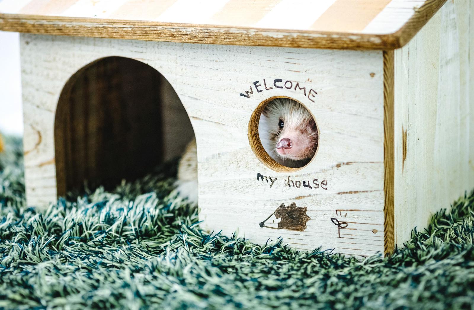 「小屋の丸い窓から周りを見るハリネズミ」の写真