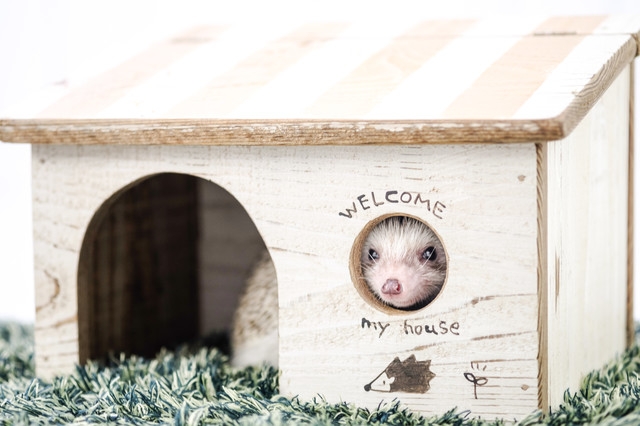 小屋にある丸い窓から顔を出すハリネズミの写真