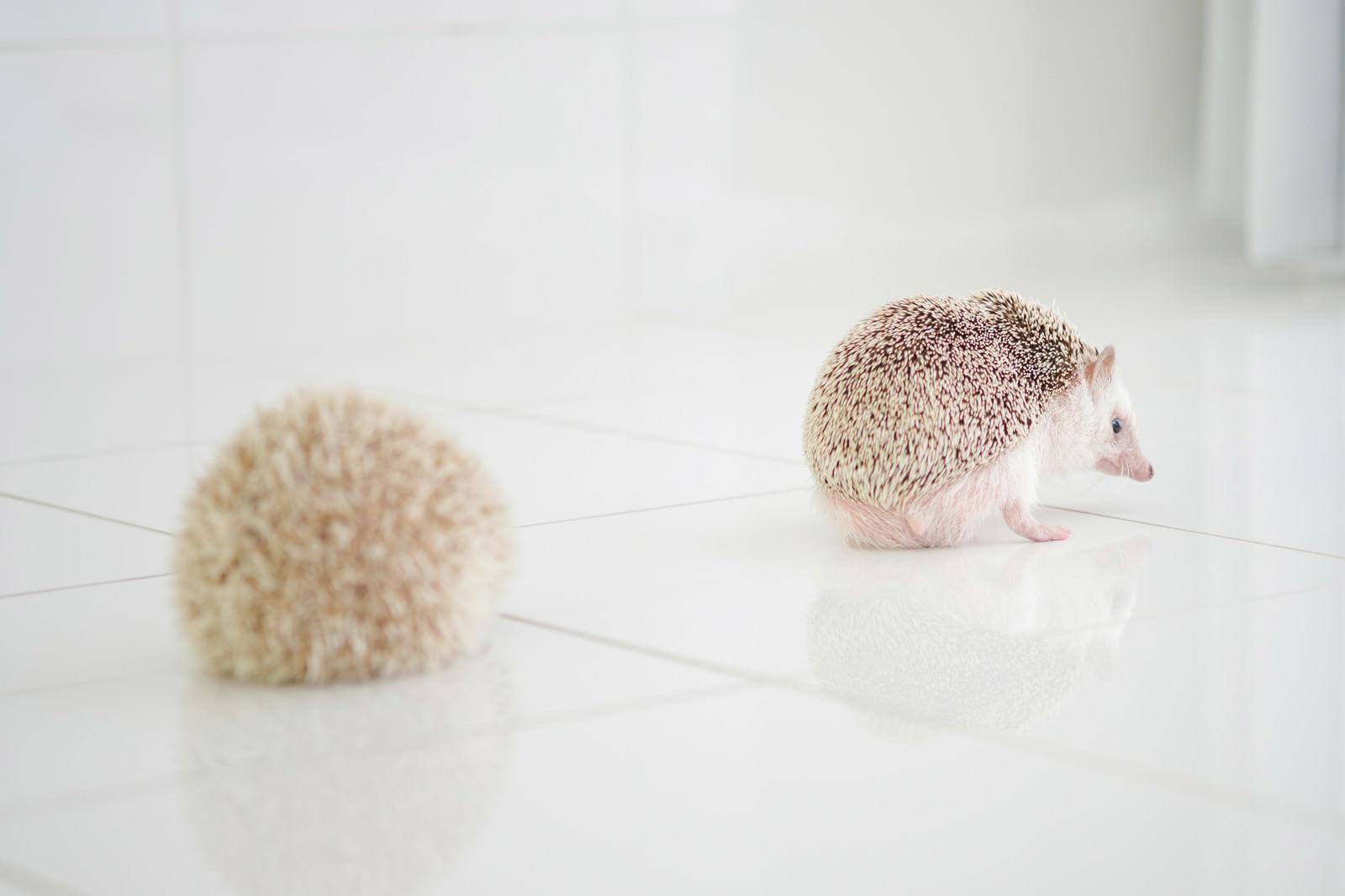 「一途な想いのハリネズミ」の写真