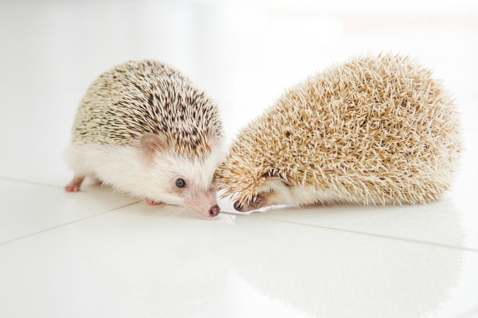 「チューをせがむハリネズミカップル」の写真