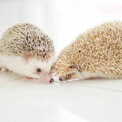 チューをせがむハリネズミカップルの写真