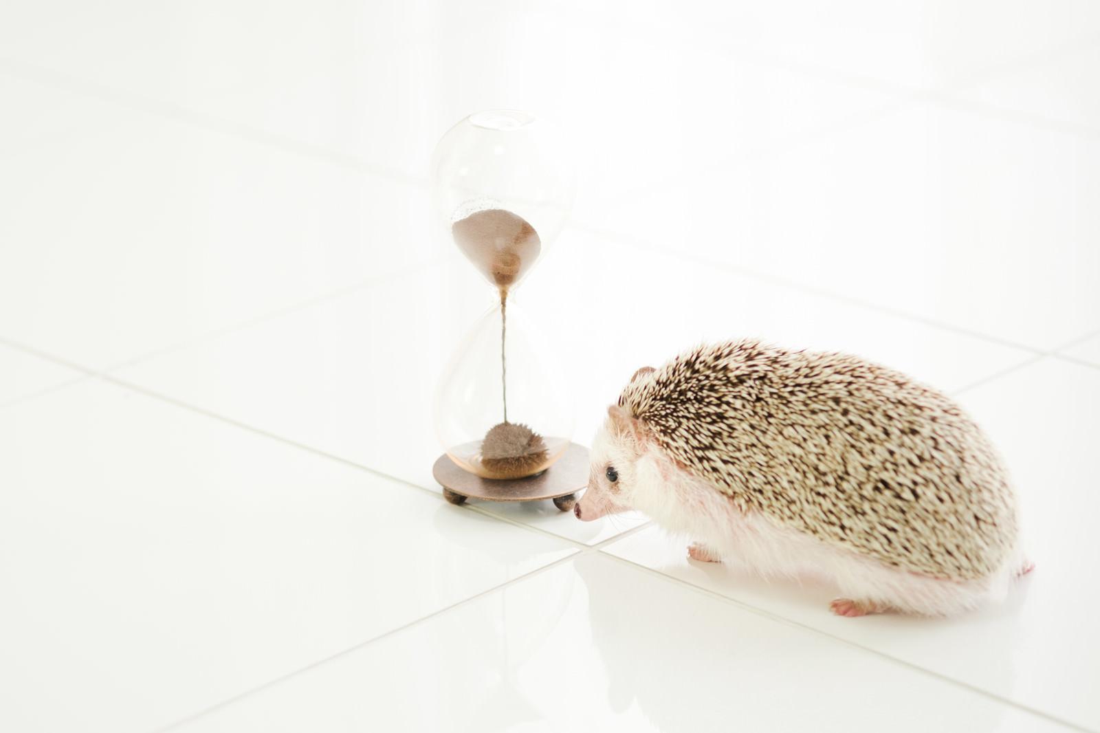 「残り時間を気にするハリネズミ」の写真