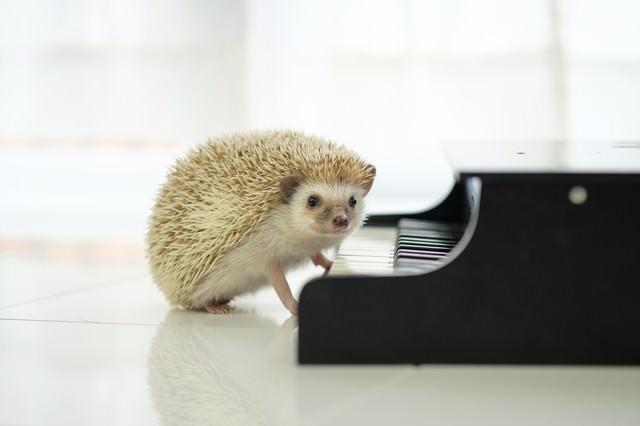 ピアノを演奏中のハリネズミ(チラッの写真