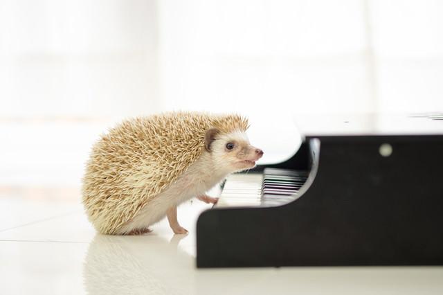 ピアノの鍵盤とハリネズミの写真
