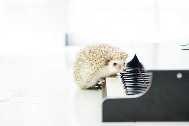前足で鍵盤を押すハリネズミの写真