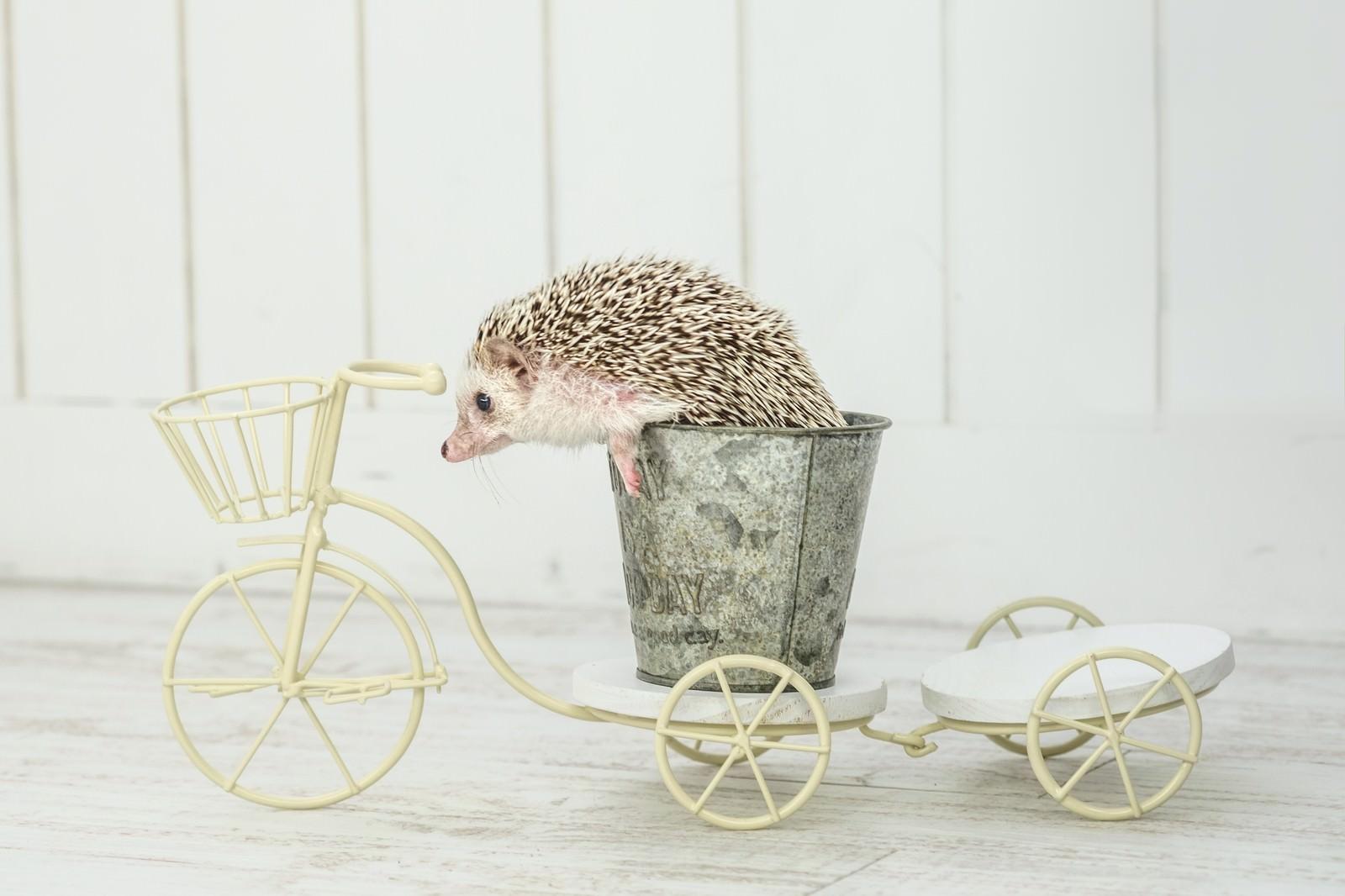 「自転車に乗るハリネズミ」の写真