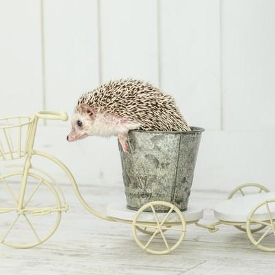 自転車に乗るハリネズミの写真
