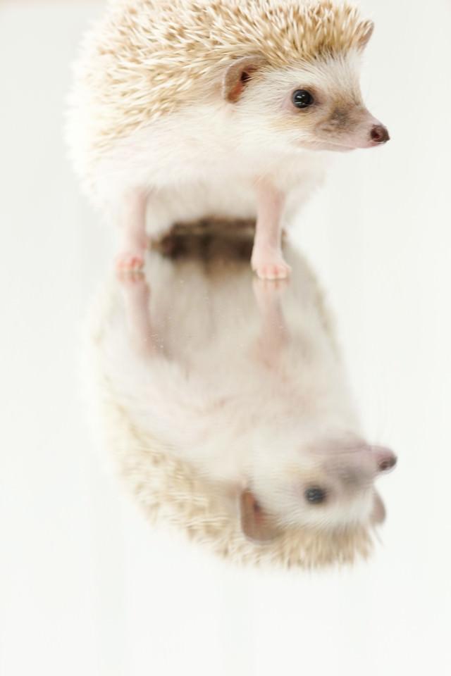 ミラーの上に乗るハリネズミの写真