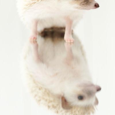 「ミラーの上に乗るハリネズミ」の写真素材