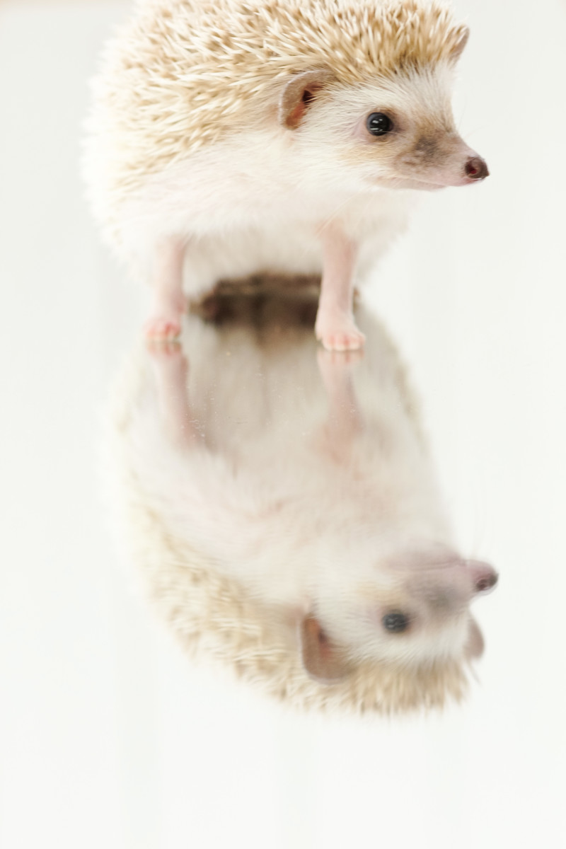 「ミラーの上に乗るハリネズミ」の写真