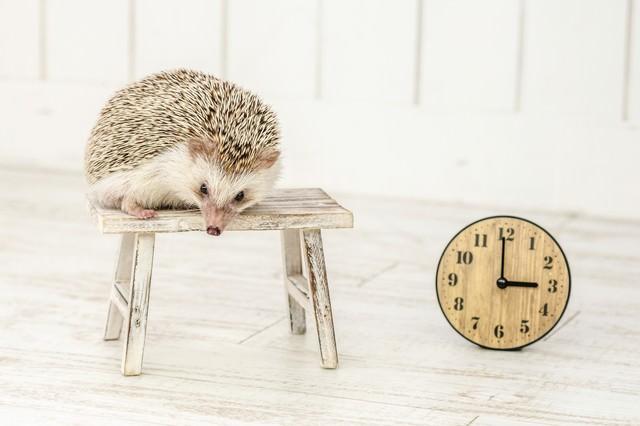 午後3時まで寝てもうた(ハリネズミ)の写真
