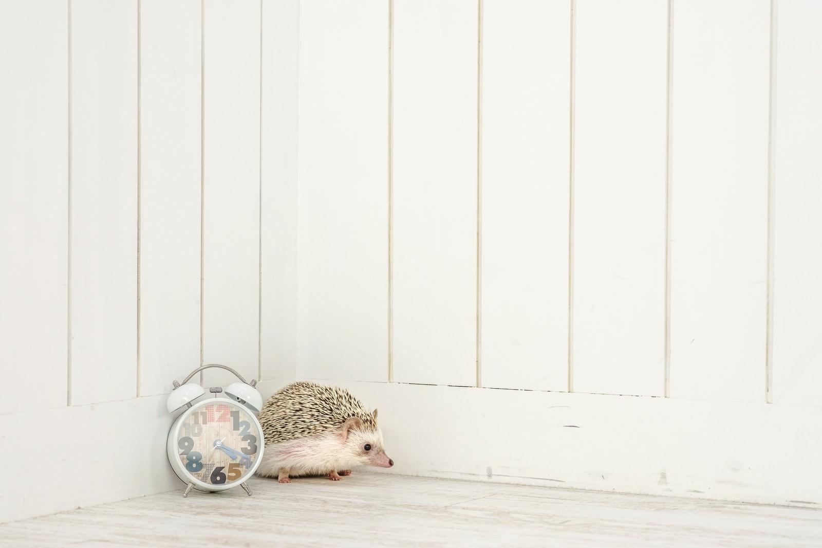 「待ち合わせの時刻を過ぎても待ち続けるハリネズミ」の写真