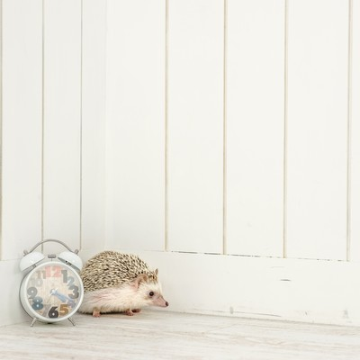「待ち合わせの時刻を過ぎても待ち続けるハリネズミ」の写真素材