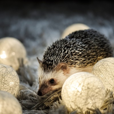 「ライトアップとハリネズミ」の写真素材