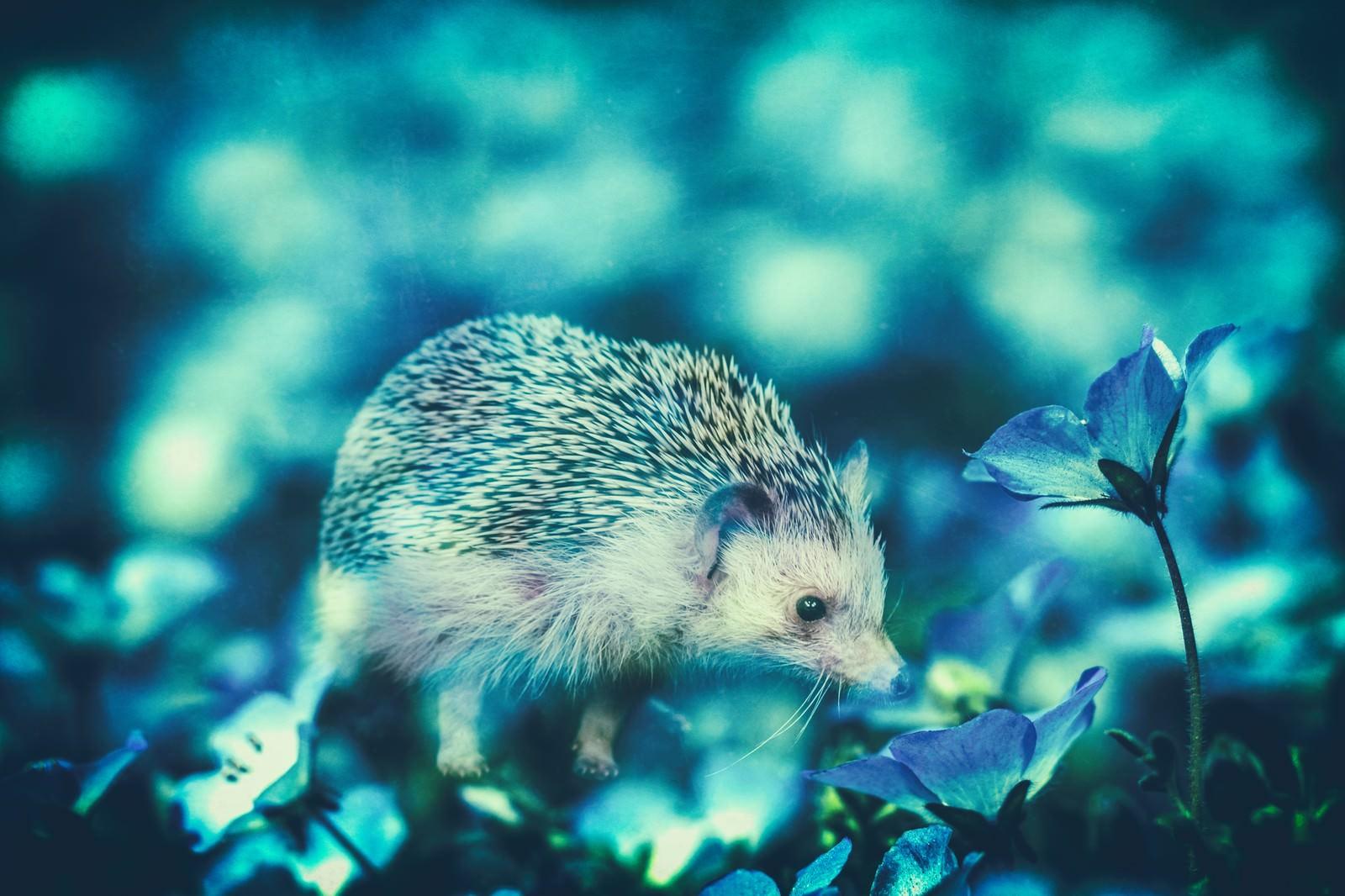 「コスモスに包まれるハリネズミ(フォトモンタージュ)」の写真