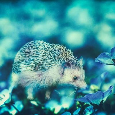 「コスモスに包まれるハリネズミ(フォトモンタージュ)」の写真素材