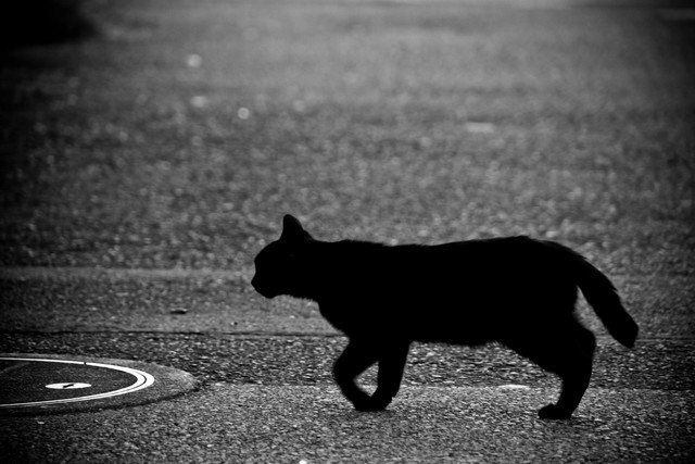 目の前を横切る黒猫の写真