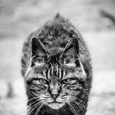 「大物感漂う風貌のトラ猫」の写真素材