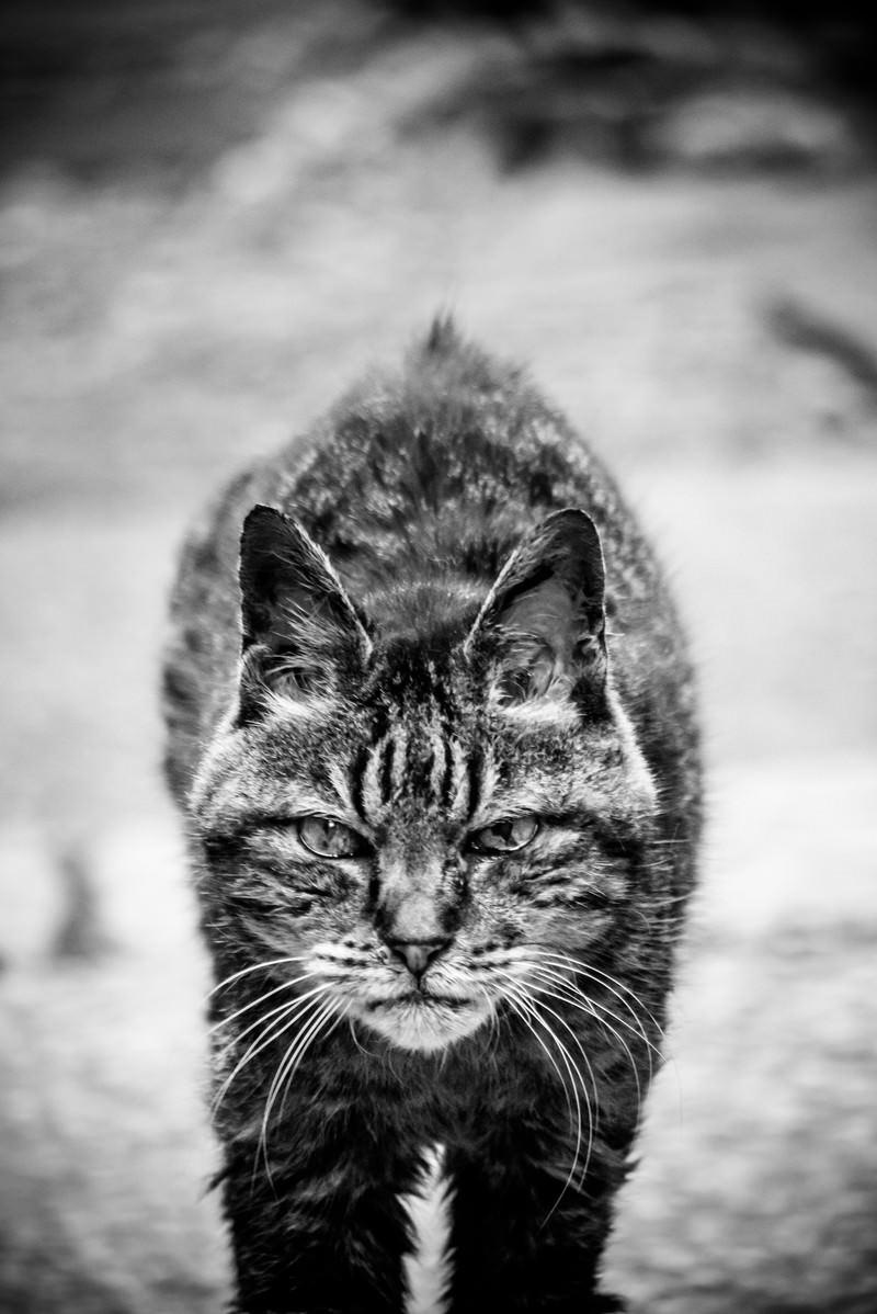 「大物感漂う風貌のトラ猫」の写真