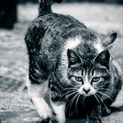 「軽い身のこなし猫」の写真素材