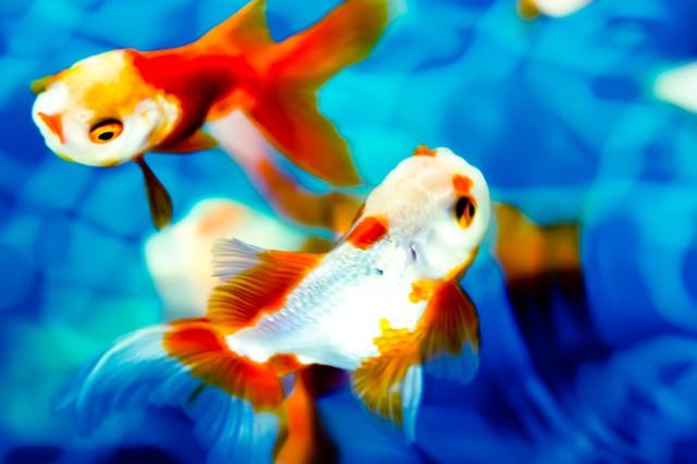 艷やかな金魚の写真