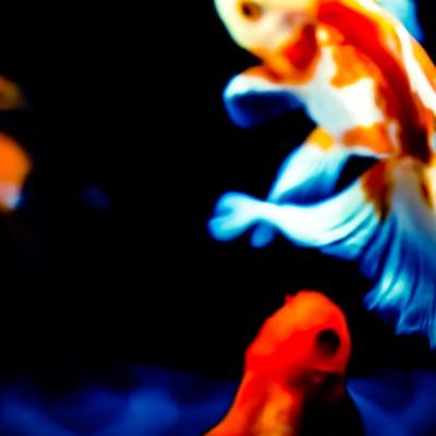 「金魚の舞」の写真素材