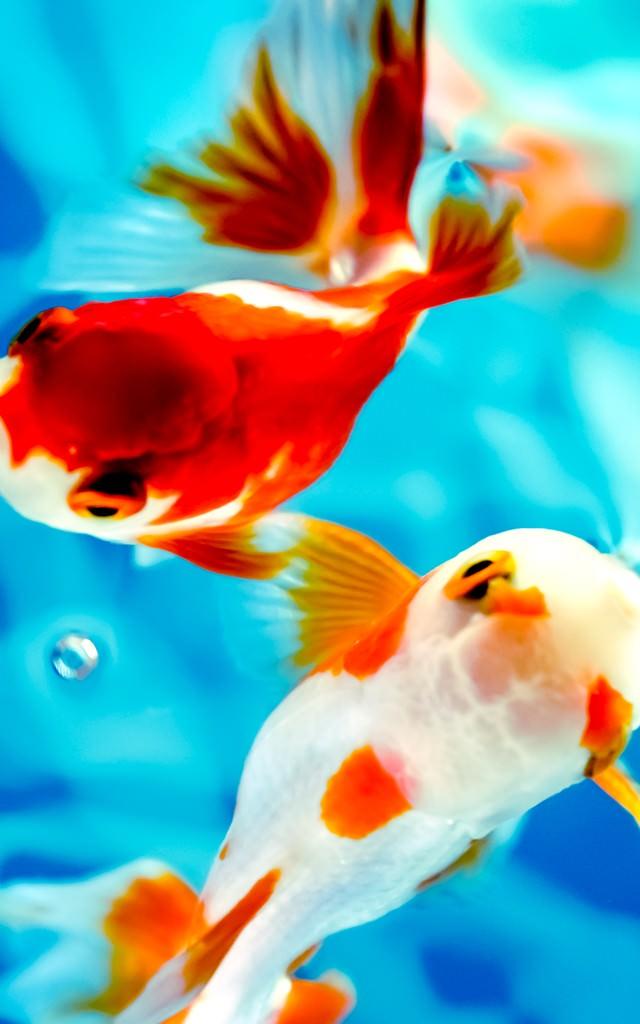 水面に顔を出すぷっくり金魚の写真