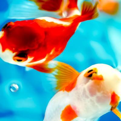 「水面に顔を出すぷっくり金魚」の写真素材
