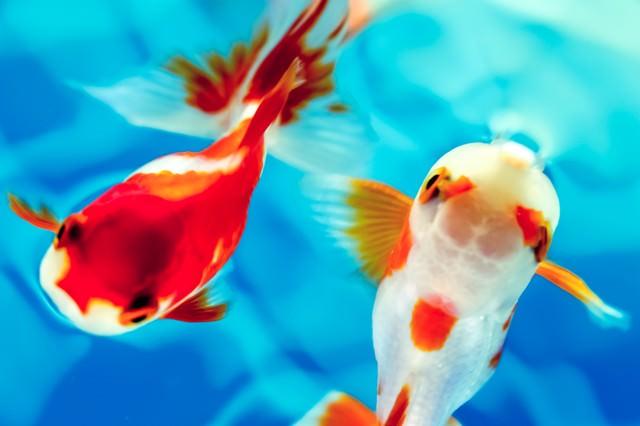 白と赤の金魚の写真