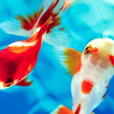 「白と赤の金魚」の写真素材