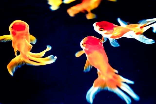 尾びれが長い金魚達の写真