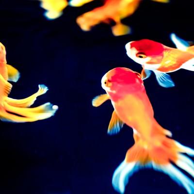 「尾びれが長い金魚達」の写真素材
