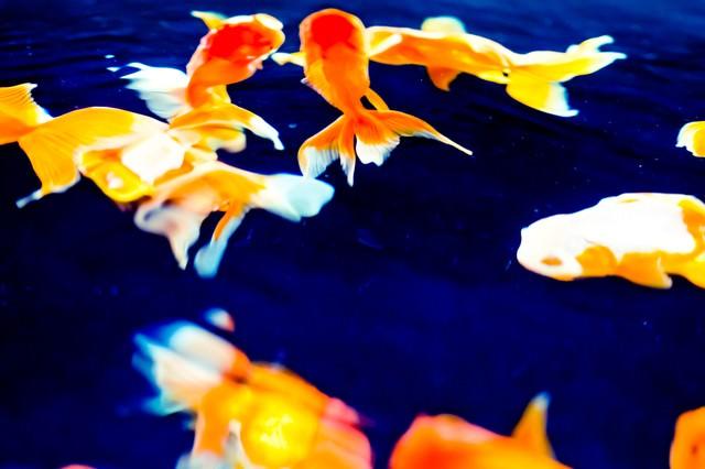 金魚の演舞の写真
