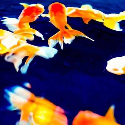 「金魚の演舞」の写真素材