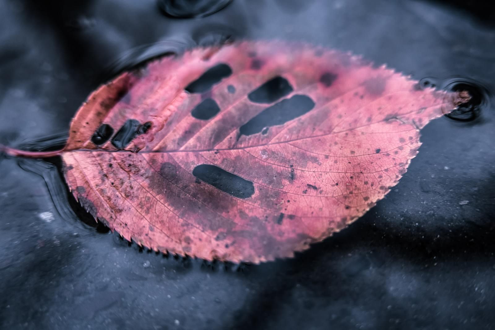 「水たまりと虫食い落ち葉水たまりと虫食い落ち葉」のフリー写真素材を拡大