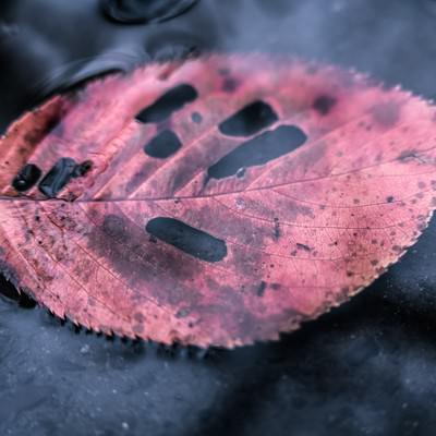 水たまりと虫食い落ち葉の写真